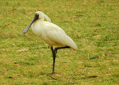 A Royal Spoonbill on Dunheved GC during the Farmers Drought Relief Appeal Fund-Raiser. Australian Senior Golfer 4th October, 2018