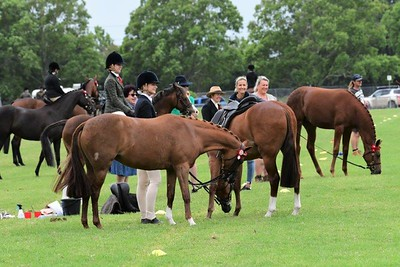 Action from the 2021 Hawkesbury Summer Hack Show at Hawkesbury Showground Western News 19th February, 2021