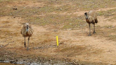 Two Emus at a watering hole on Dunheved GC during the Farmers Drought Relief Appeal Fund-Raiser Western News 12th October, 2018
