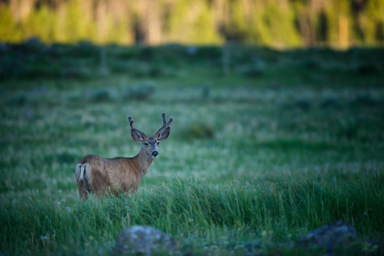 Mule deer in a meadow.