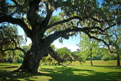 The McLeod Oak