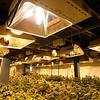 Marijuana Cultivation in Monterey Co.
