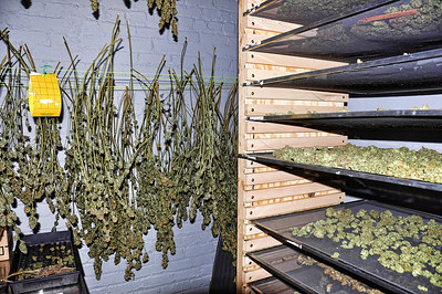 drying-medical-marijuana