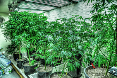 growing-medical-marijuana-2