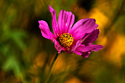 Sonata Cosmos Flower, 2015.