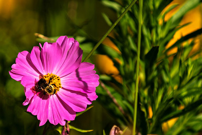 Bumblebee Visiting a Sonata Cosmos Flower, 2015.