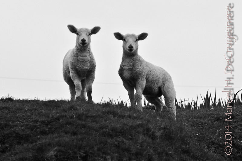 Twin Sheep