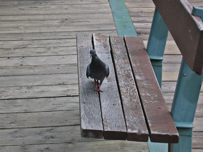 Pigeon and Park Bench