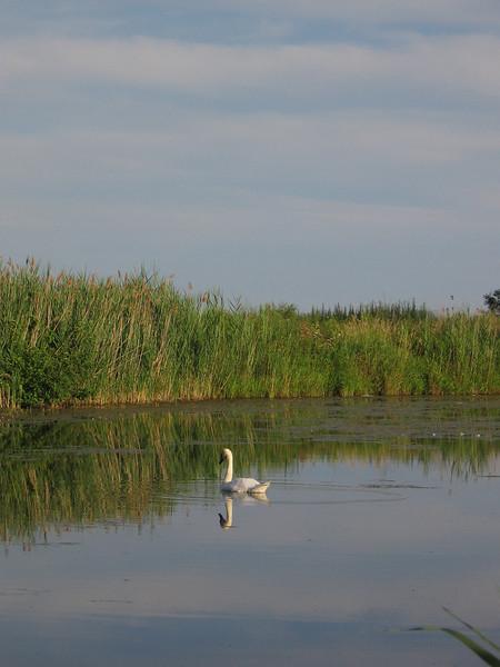 Reflected swan