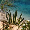 Succulents were very prominent throughout the Mediterranean.