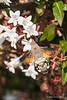 Hummingbird-moth-showing-tricolor-spot-on-back,-Sarande-Castle,-Albania