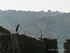 Herons-2,-Ali-Pasha-castle,-Vivari-Channel,-Butrint,-Albania