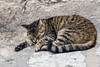 Sleeping-tabby-cat,-Dubrovnik,-Croatia