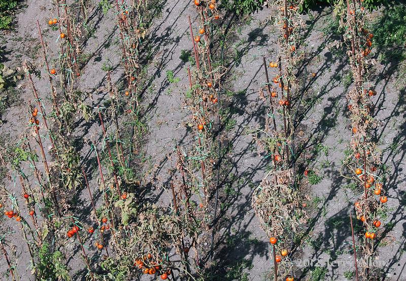 Tomato-plants-&-shadows,-Dubrovnik,-Croatia