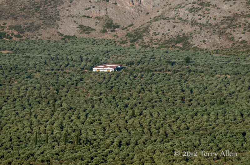 Olive-tree-forest-of-Amfissa,-Greece