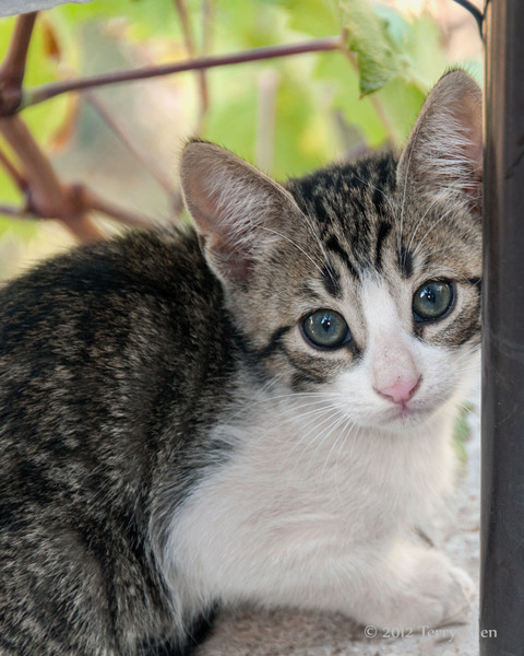 Tabby-kitten-1,-Delphi,-Greece