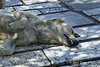 Dog-sleeping-on-marble-slabs-in-the-shade,-Acropolis,-Athens,-Greece