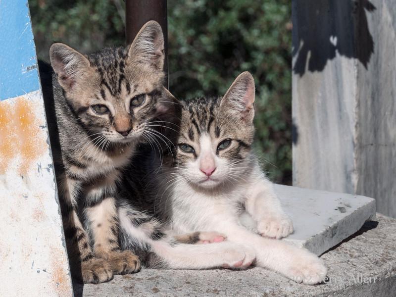 Two-tabby-kittens,-Delphi,-Greece