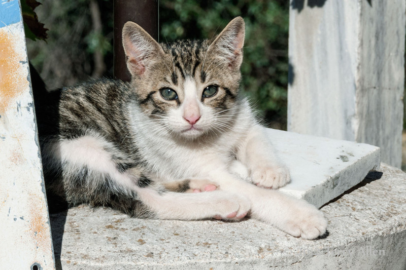 Tabby-kitten-2,-Delphi,-Greece