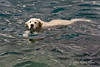 Swimming-dog,-Perast,-Montenegro