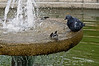 Pigeon-&-sparrow-having-bath-in-fountain,-Kotor,-Montenegro
