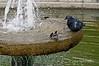 Pigeon-&-sparrow-having-bath-in-fountain,-Kotor,-Montenegro