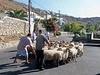 These sheep arrived on the island by boat and are being herded into a truck.  The men are obviously professional sheep herders.