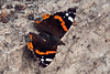 Red-admiral-butterfly,-Erice, Sicily