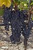 ripe-Nero-d'Avola-grapes-2,-Feudo-di-Principo-Butera-Winery,-Caltanisetta,- Sicily
