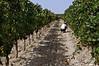 Vinyard-2,-Feudo-di-Principo-Butera-Winery,-Caltanisetta,-Sicily