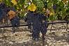 ripe-Nero-d'Avola-grapes,-Feudo-di-Principo-Butera-Winery,-Caltanisetta,- Sicily