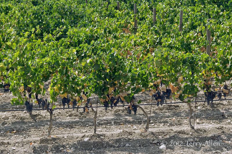 Vinyard,-Feudo-di-Principo-Butera-Winery,-Caltanisetta.-Sicily