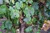 Wine-grapes-2,-Cantine-Floria,-Marsala,-Sicily