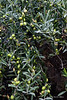 Olives-on-tree,-Cantine-Floria,-Marsala,-Sicily