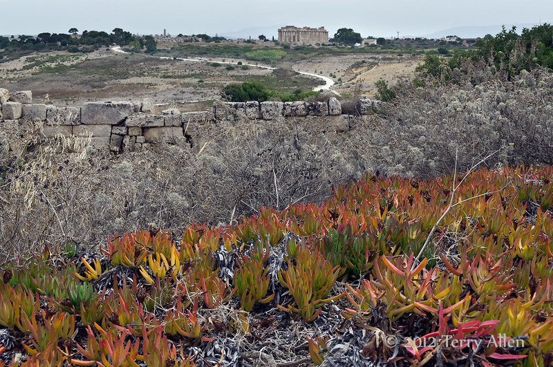 Ice-plants-at-Acropolis-&-Temple-E,-Selinute,-Sicily