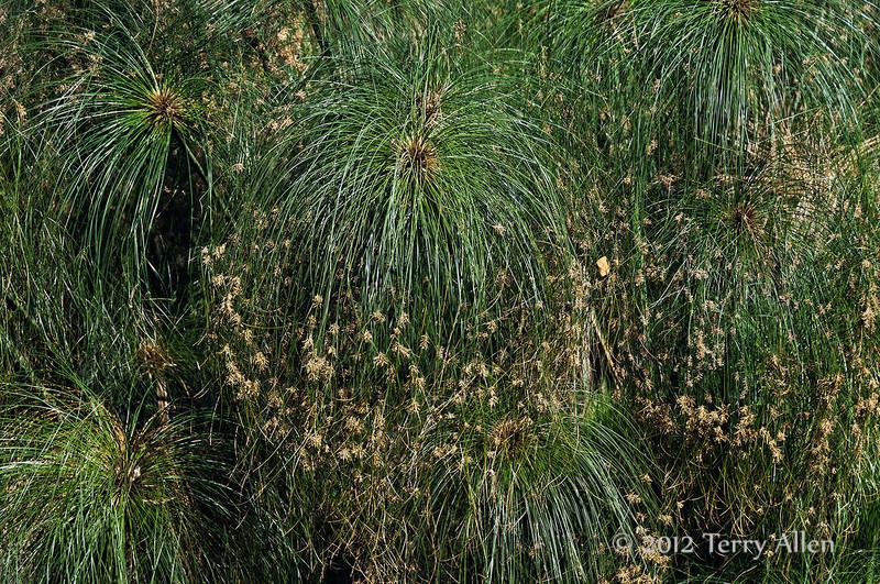 Papyrus-plants-2,-Syracuse,-Sicily