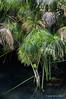 Papyrus-plants-3,-Syracuse,-Sicily