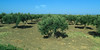 Olive groves abound in Mediterranean countries.