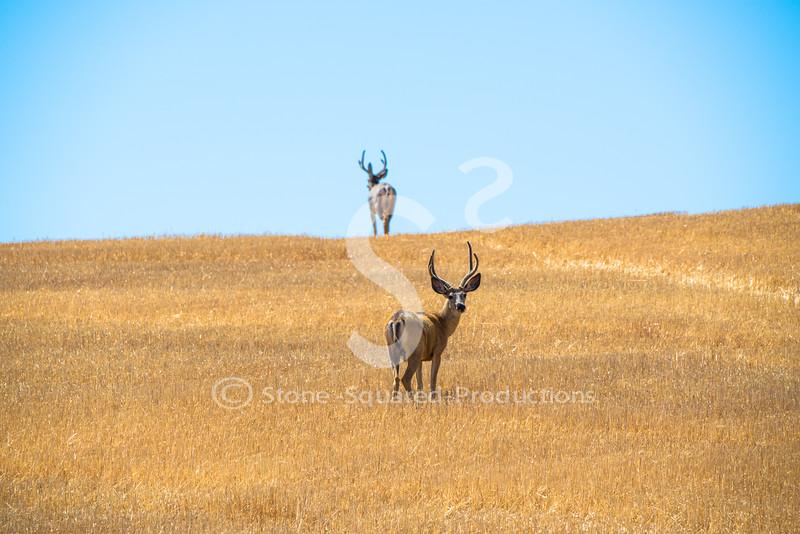 Harvest Buck(s)