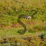 Tundra Coyote