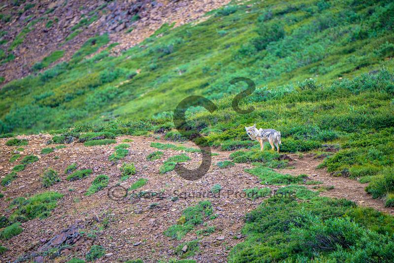 Shaggy Coyote