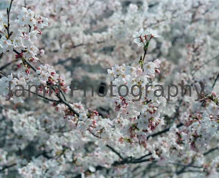 """""""Full Bloom""""<br /> Mamiya RB67 - 90mm f/3.8 Lens - Fujicolor PRO400"""