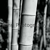 """Bamboo""<br /> Mamiya RB67 - 90mm f/3.8 Lens - Marumi MC-Y2 Yellow Filter - Fuji Neopan Acros 100"