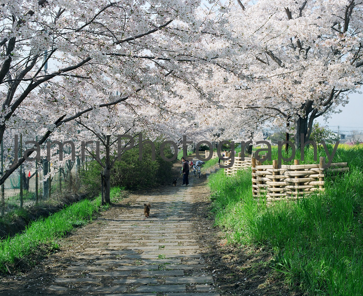 """Walking under the Sakura""<br /> Mamiya RB67 - 90mm f/3.8 Lens - Fujicolor PRO400"