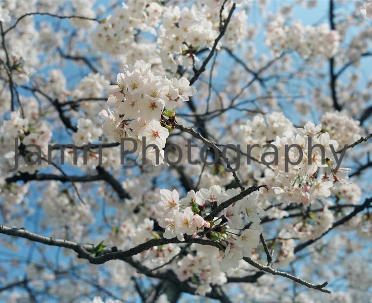"""Sakura Flowers""<br /> Mamiya RB67 - 90mm f/3.8 Lens - Fujicolor PRO400"