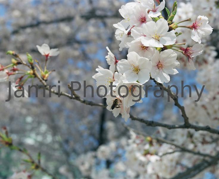 """""""Bee on a Sakura""""<br /> Mamiya RB67 - 90mm f/3.8 Lens - Fujicolor PRO400"""