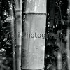 """Bamboo within Bamboo"" <br /> Mamiya RB67 - 90mm f/3.8 Lens - Marumi MC-Y2 Yellow Filter - Fuji Neopan Acros 100<br /> Double Exposure"