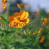 """Orange Cosmos""<br /> Mamiya RB67 - 90mm f/3.8 Lens - Fujicolor Reala ""ACE"" 100"