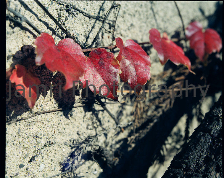 """""""Colour Changing Creeper""""<br /> A wall covering creeper displaying some autumn colours.<br /> Mamiya RB67 - 90mm f/3.8 Lens - Fujicolor PRO400"""