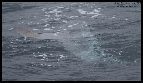 Ocean Sunfish under water, Whale Watching trip, San Diego County, California, June 2013